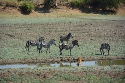 _2_South_Luanga_zebra.jpg