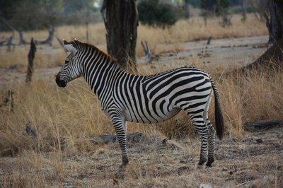 _3_South_Luanga_-zebra.jpg