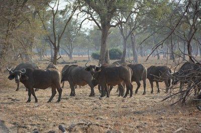 _7_South_Luanga_-buffels.jpg