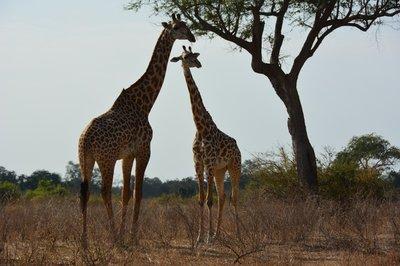 _8_South_Luanga_Giraffen.jpg