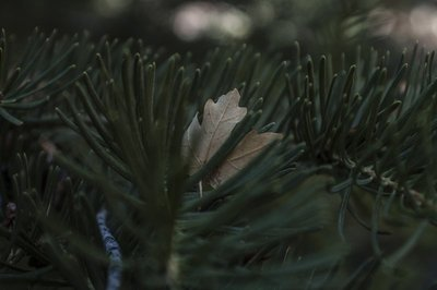 Pine and leaf