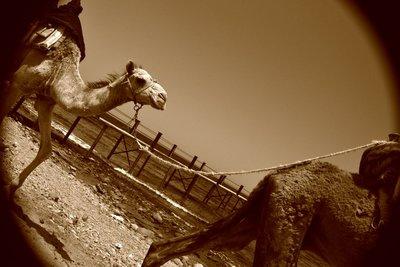 Camal Ride