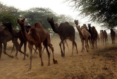 camel fair 4