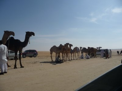 Camels everywhere!