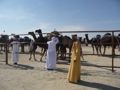 Camel corral