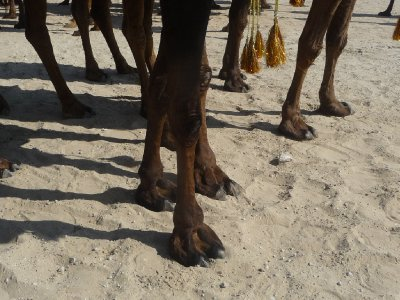 Camel hooves - huge feet on spindly legs!