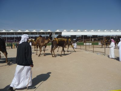 Gathering camels for the judging