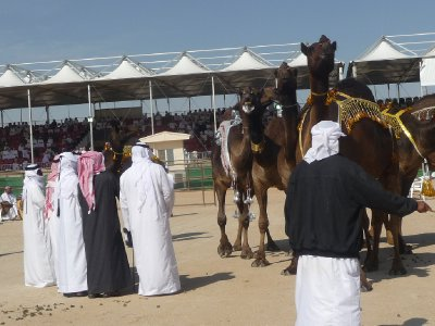 Judges looking over the camels
