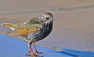A shiny Starling