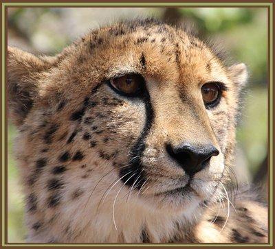 Cheetahclose