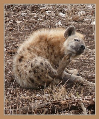 Hyena fleas