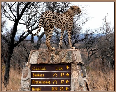 cheetah directions