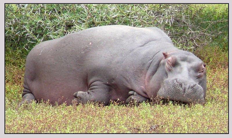 hippo slob