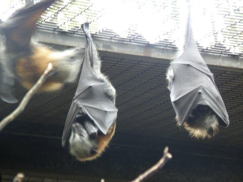 Foxtail Bats
