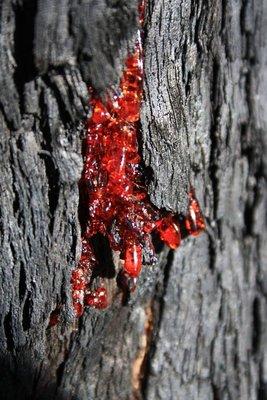 Sap Bleeding Tree after Fire