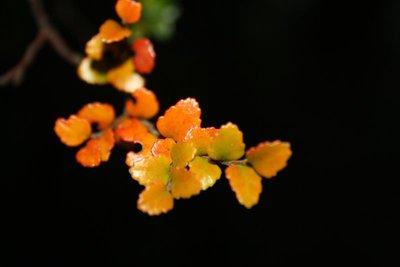 Autumn Beech Leaves 2