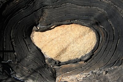 tree root growing aroung rock