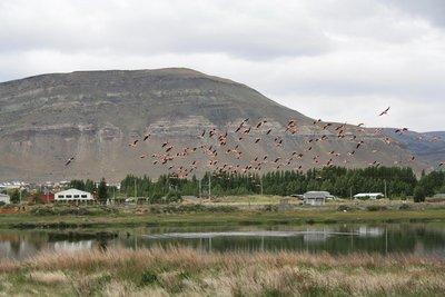 Flamingos taking to flight off Lago Argentino.