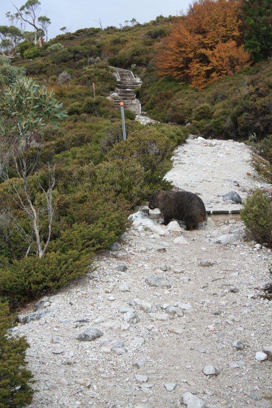 Fancy coming across a wombat on 'wombat trail'