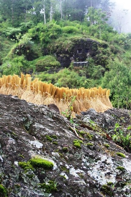 Rice drying with rock grave in background