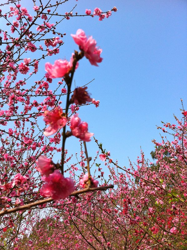 Cherry Blossoms in Xiamen, China