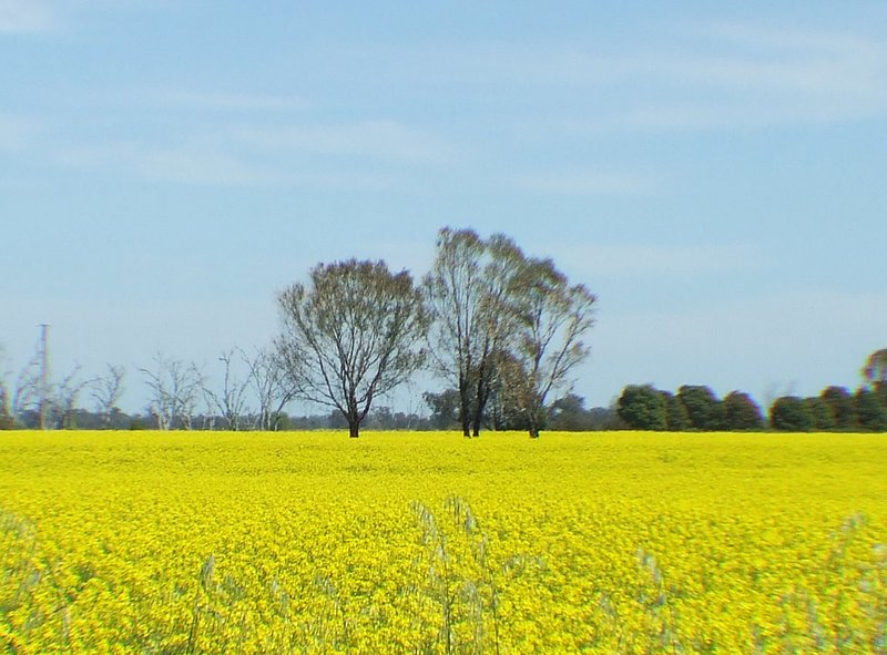 Sea of Canola Flowers