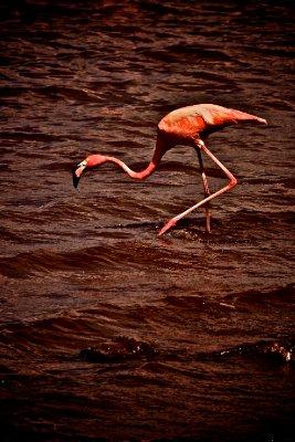 Pink Flamingo, Pink Water, Bonaire