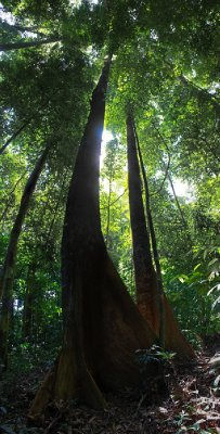 Giant of the rainforest (Bukit Patoi = Patoi Hill)