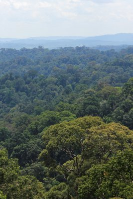 The endless rainforest of Borneo (Ulu Temburong National Park)