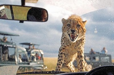 3541643-Theres_a_cheetah_on_my_bonnet-Masai_Mara_Game_Reserve