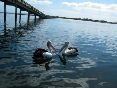 Pelican Pair