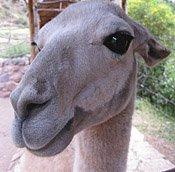 llama_head_sm.jpg