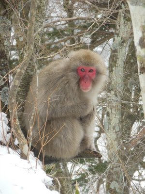 Japanese Macaque in Nikko, Japan
