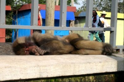 Lalibela's Monkey