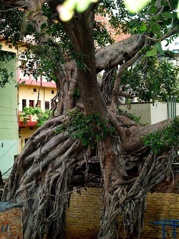 Old Pipal tree - but not old enough in Banaras