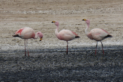 Flamingos_in_the_Salar.png