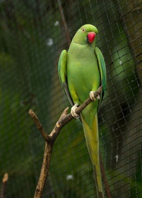 Green_Lorikeet_2.jpg