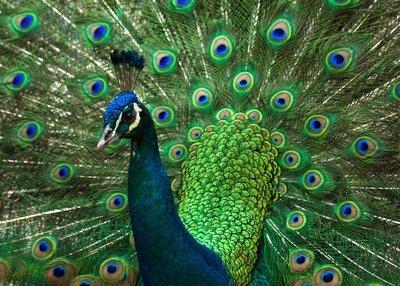 HD_Peacock.jpg