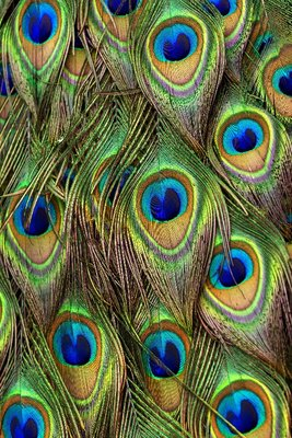 HD_peacock_feathers.jpg