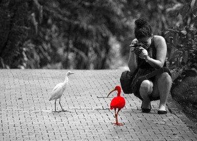 Scarlet_Ibis.jpg