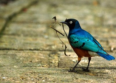 Superb_Starling.jpg