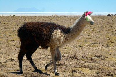 Fashionable Lama
