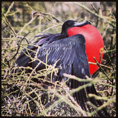 Frigate Bird - North Seymour Island