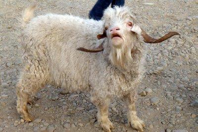 Argentinian Goat