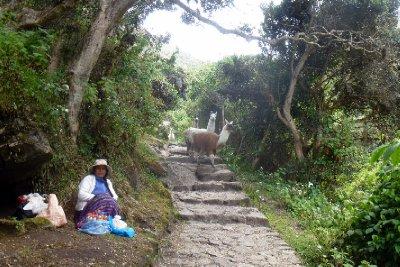Inca trail llamas