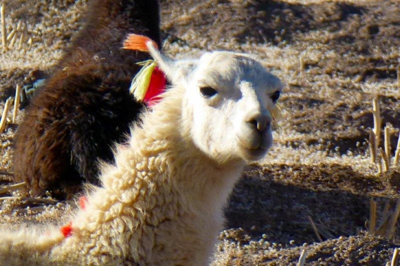 Bolivian Lama in trend