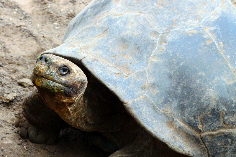 Giant Gallapagos turtle