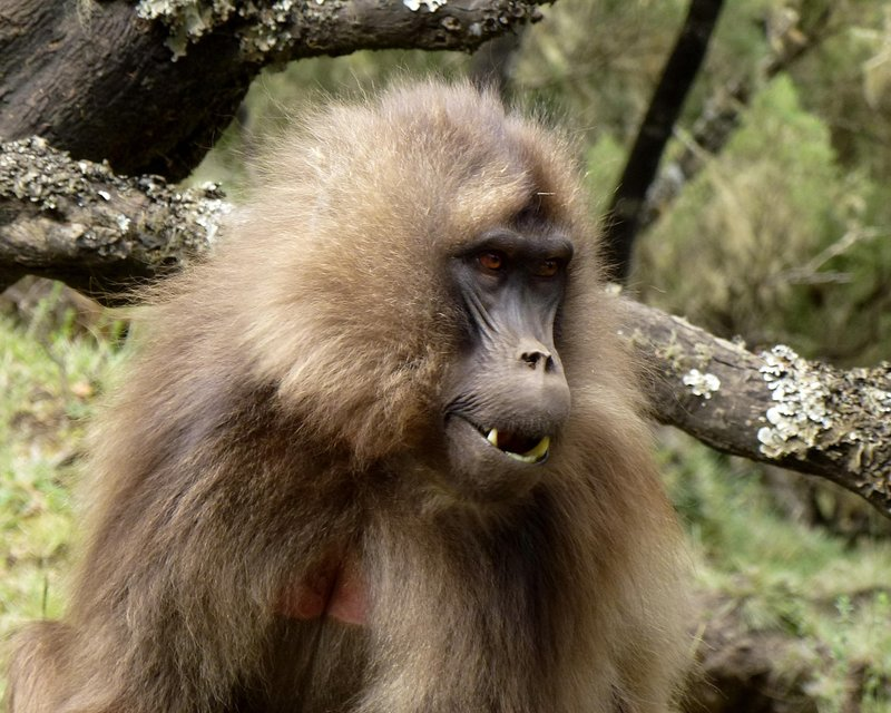 Simien Mountains Gelada Baboon