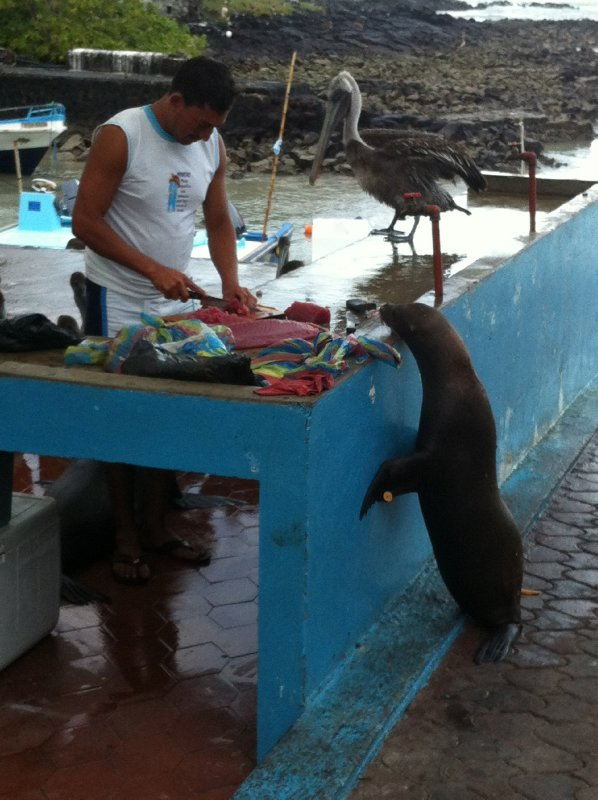 Hungry Sea Lion
