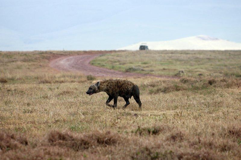 Ngorogoro Hyena